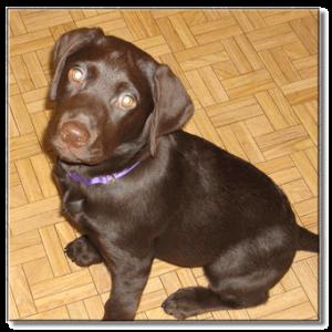 puppy-lab